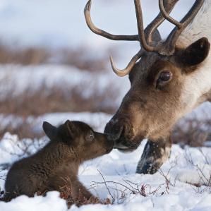 caribou-mother-nuzzling-calf-sergey-gorshkov