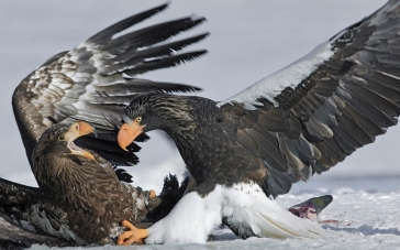 Russia. Kamchatka. Kurilskoe Lake. Stellers sea eagle