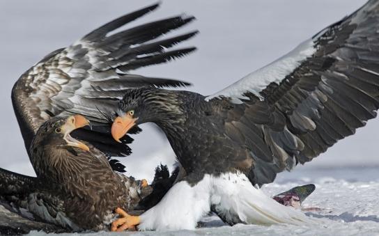 Russia. Kamchatka. Kurilskoe Lake. Stellers sea eagle